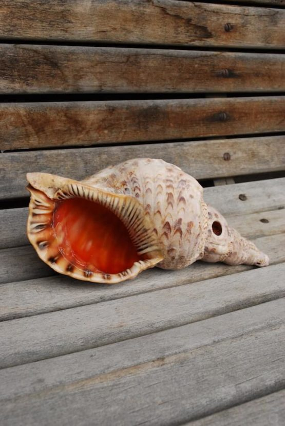 Meeresmuschel gross Deko